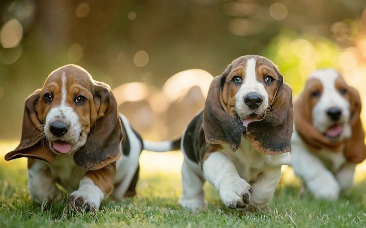 Three Basset Hound puppies running.