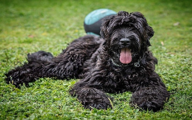 Black Russian Terrier History and Behavior