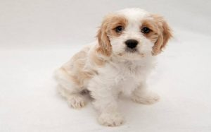 Cavaachon dog breed temperament and personality
