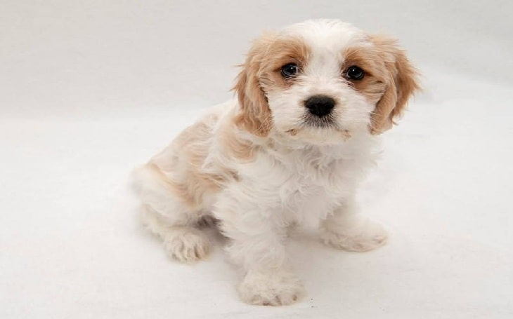 All About Cavachon Dog Breed Photos