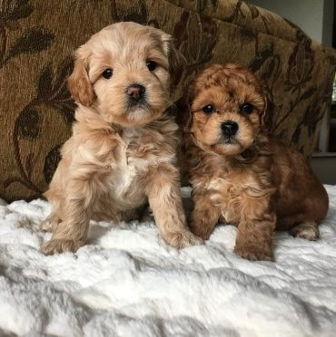 Cavaachon puppies