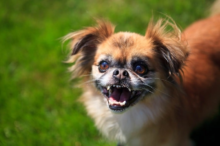 Cheeks- Chuhuahua and Pekingese mix