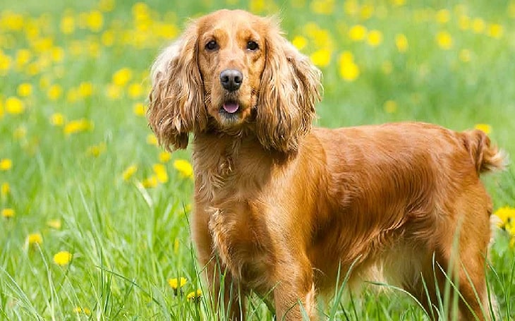Cocker Spaniel Behavior and persoanlity