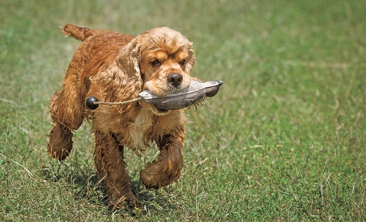 Cocker Spaniel on training field
