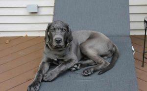 Daniff dog breed temperament and behavior
