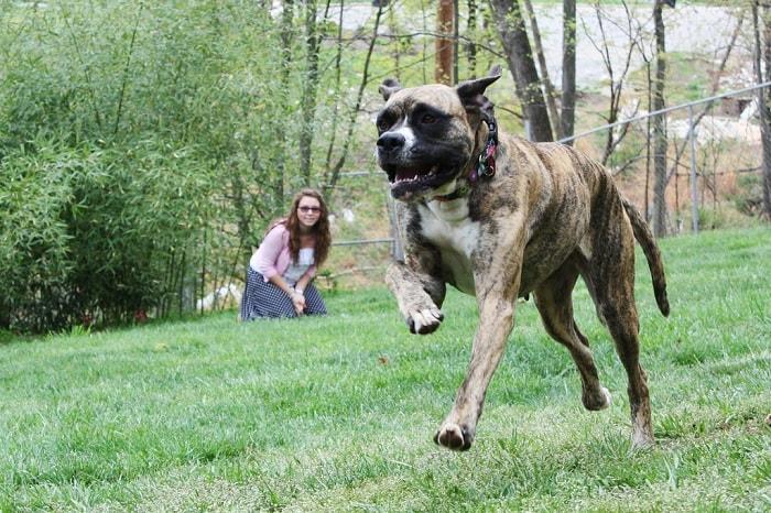 Daniff dog running on the field