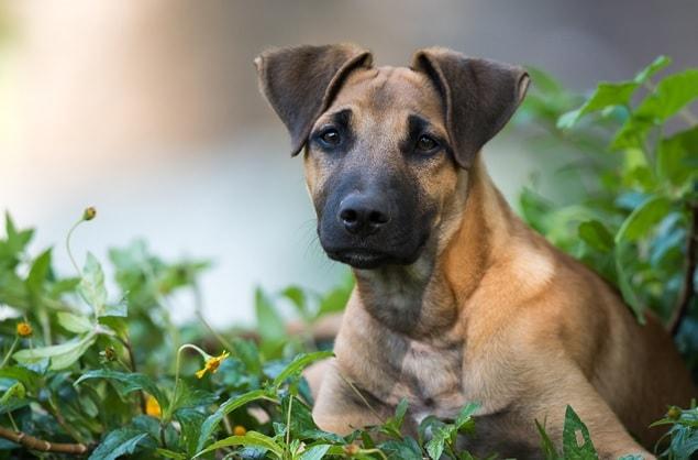 Daniff puppy sitting