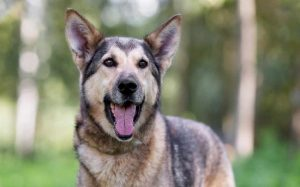 Gerberian Shepsky history and behavior