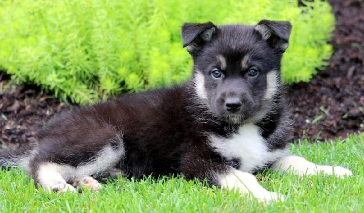Gerberian Shepsky puppy laying on the grass