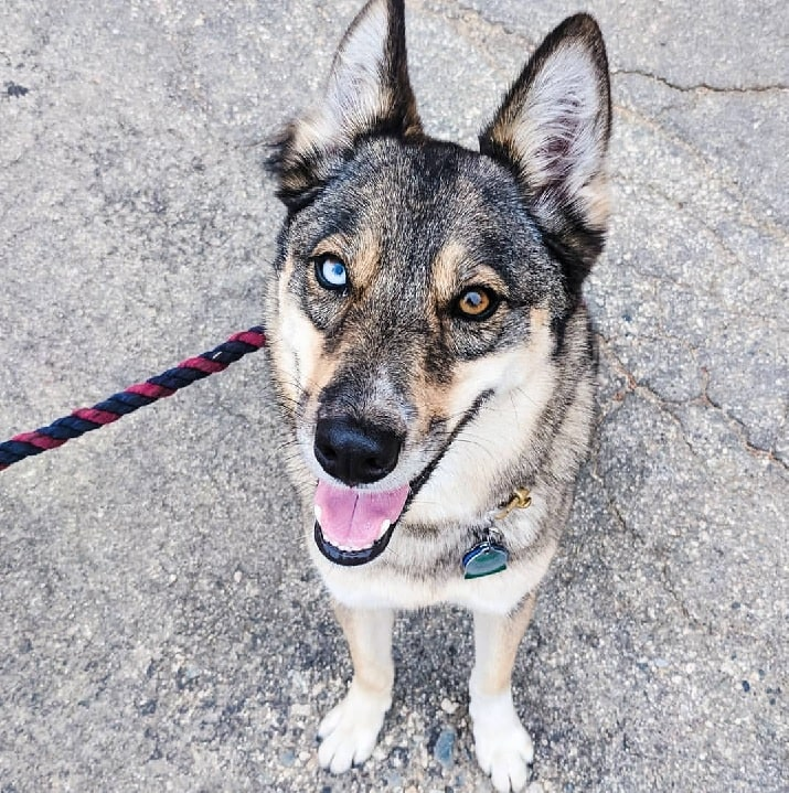 Gerberian Shepsky with blue and brown eyes