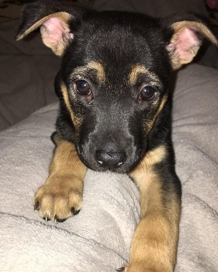 German Pit Puppy