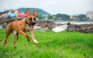 German Pit dog breeds personality and temperament
