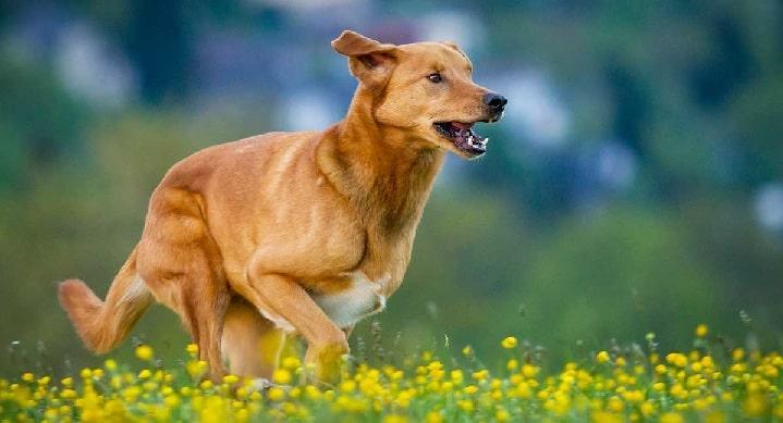 Golden Shepherd Dog running on the field