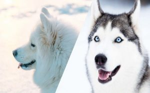 Huskimo temperament and personality