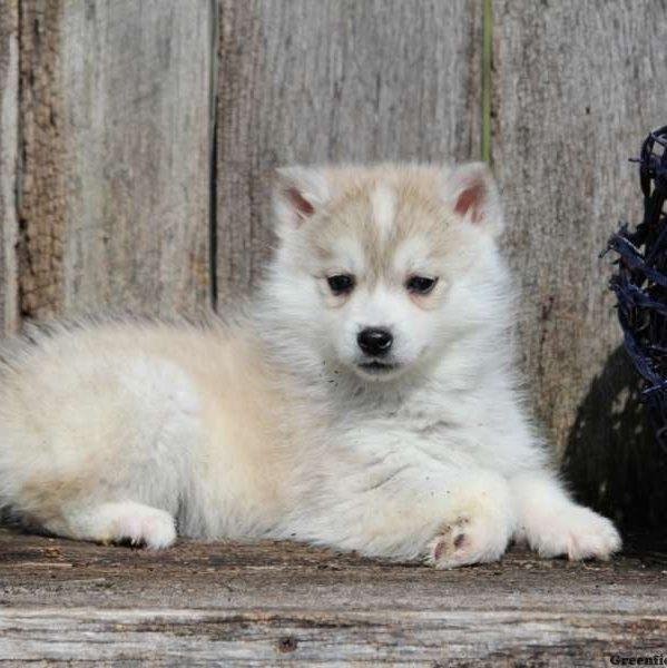 Huskimo Puppy sitting
