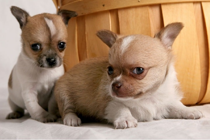 Jack Chi puppies