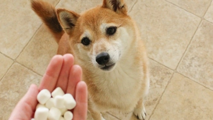 Marshmellow treat for Akita