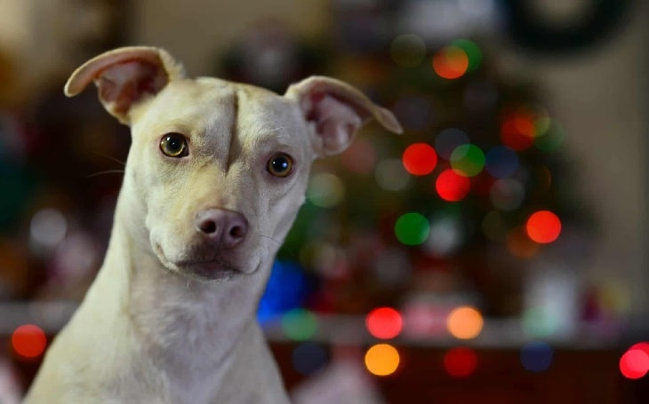 Pit Chi Breed behavior and personality