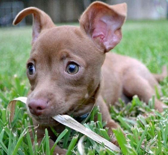 Pit Chi Puppy