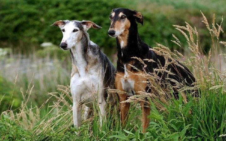 Polish Grayhound behavior. temperament, and personality