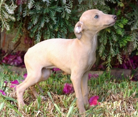 Polish Greyhound Puppy standing