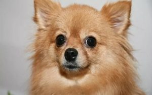 Pomchi personality, behavior, and temperament