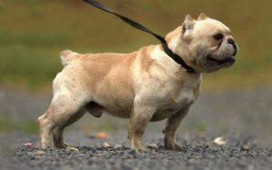 Shorty Bulldog temperament, behavior, and personality