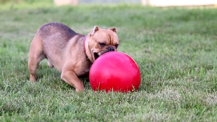 Shorty Bulldog playing ball