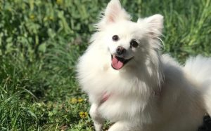 Volpino Italiano Is An Energetic Breed.