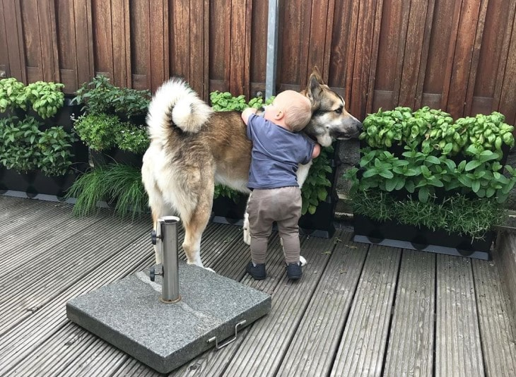 West Siberian Laika Is Good With Kids.