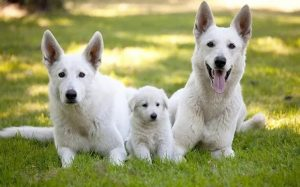 White German Shepherd Origin and behavior