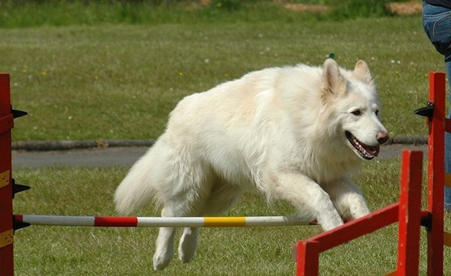 White German Shepherd agility training