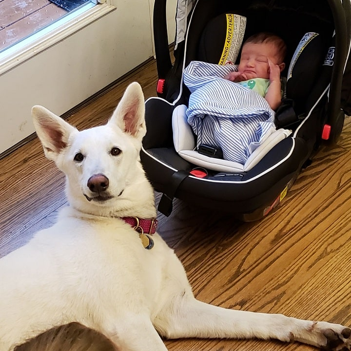 White German Shepherd guarding the baby