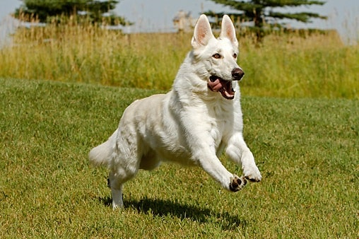 White German Shepherd running