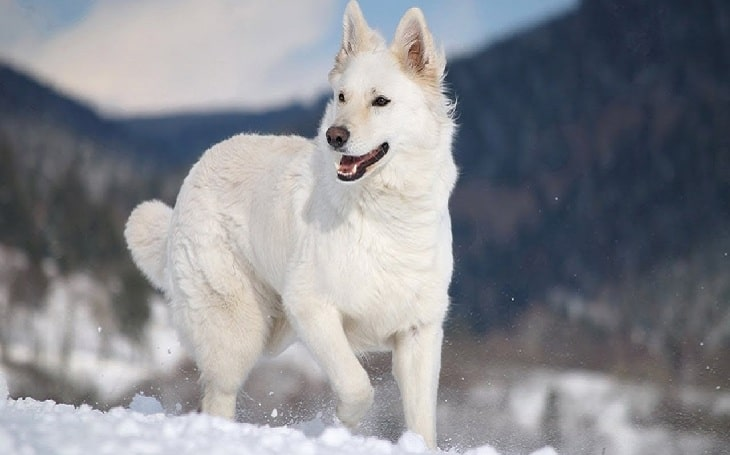 White German Shepherd personality and temperament