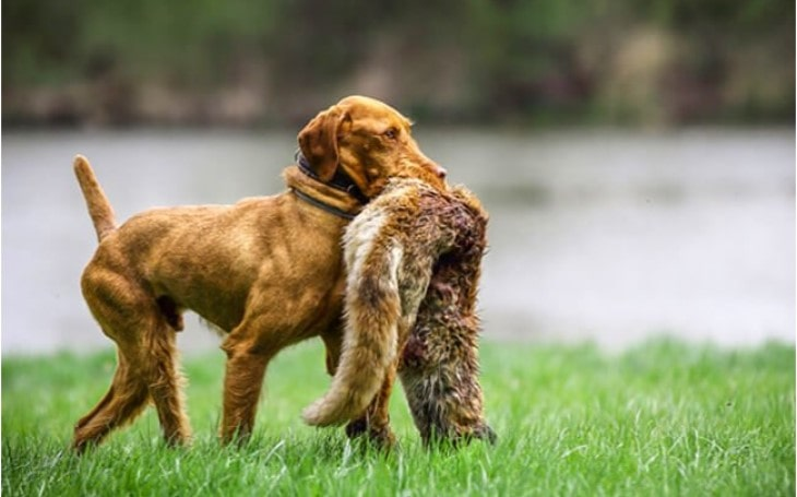 Wirehaired Vizsla Is A Friendly Dog.