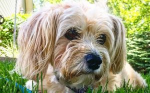 Yorkie Poo Is An Active Breed.