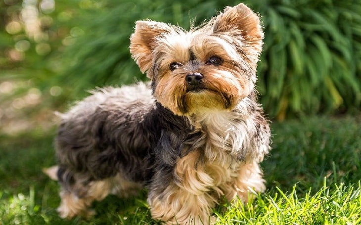 Yorkshire Terrier Breed training and puppy cost