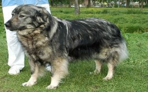 Yugoslavian Shepherd behavior and temperamnet