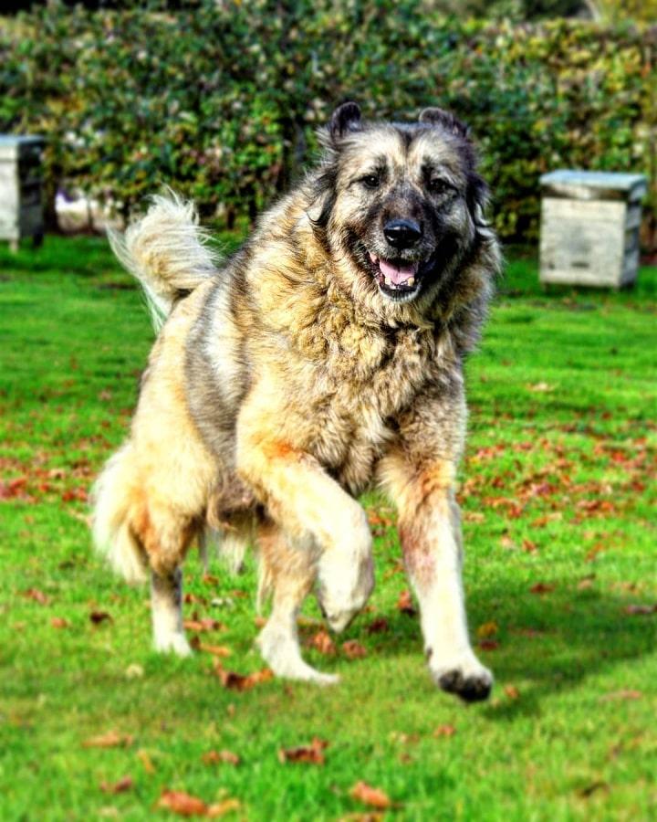 Yugoslavian Shepherd running
