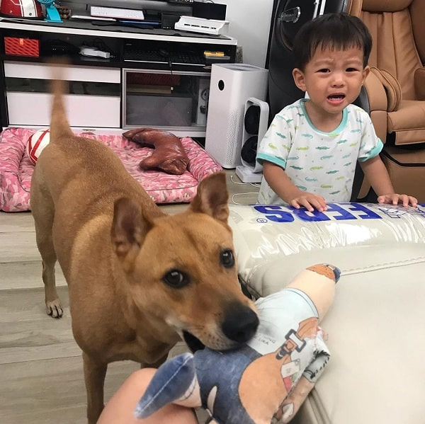A Mongrel with a baby toy