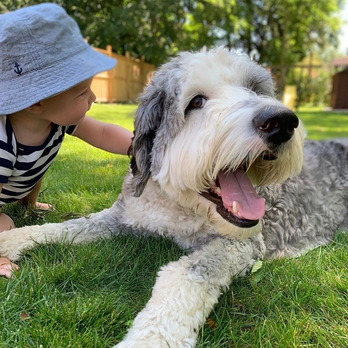 A baby and Sheepadoodle playing