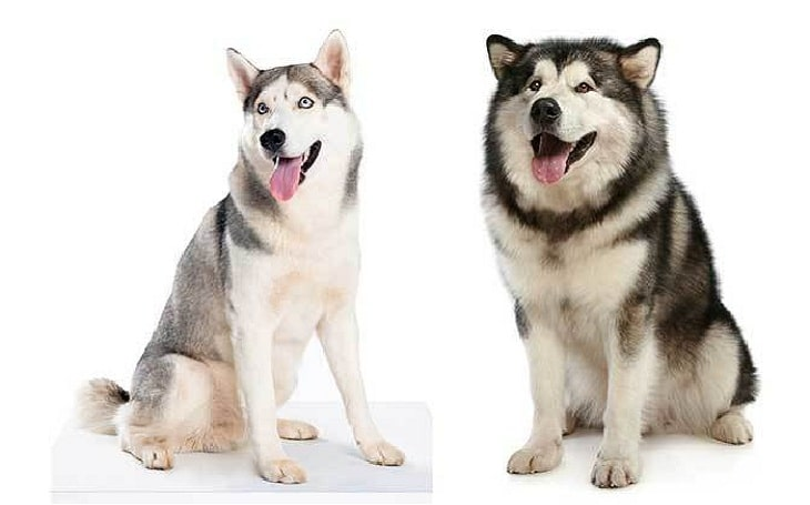 Alusky personality, temperament, and behavior