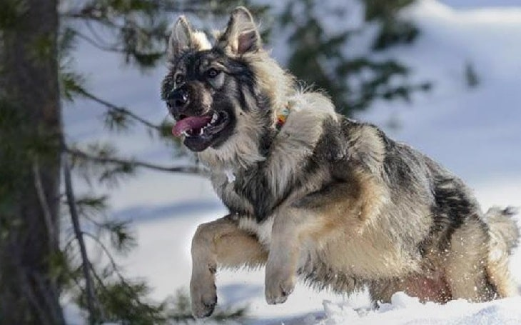 American Alsatian temperament, personality and behavior