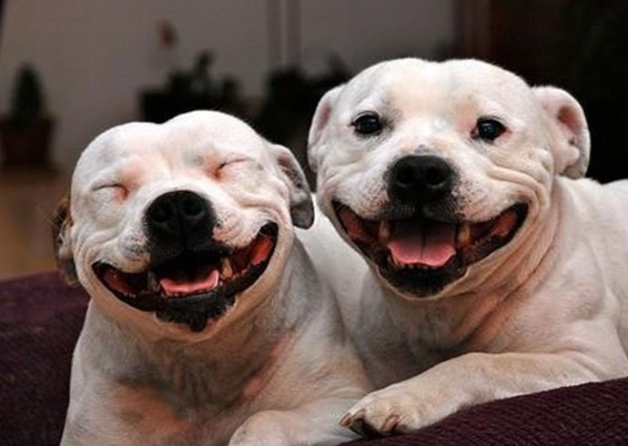 American Staffordshire Terrier smiling