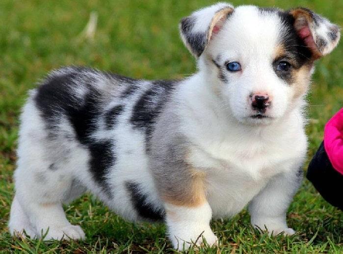 Auggie puppy