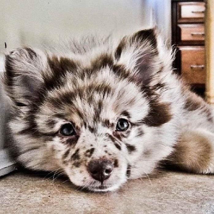 Aussiepom puppy