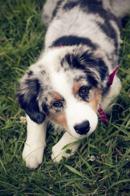 Australia Shepherd puppy