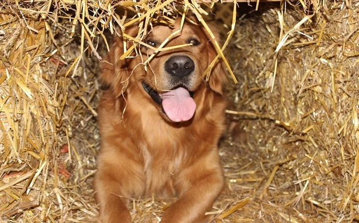 A dog in a barn hunt obstacle.
