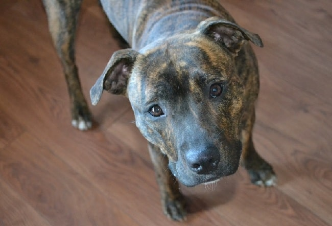 Blue Nose Brindle Pitbull